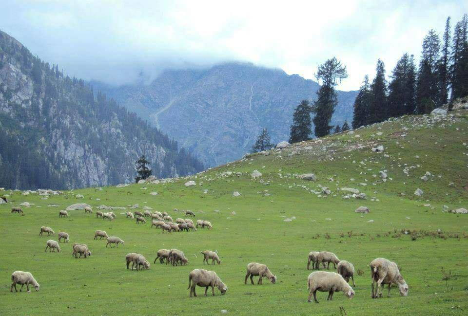 Grazing Herds in Kumrat Valley