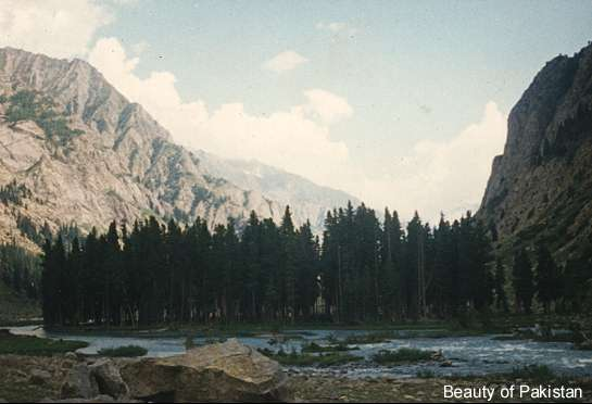 Pine Forest behind Mahudand Lake