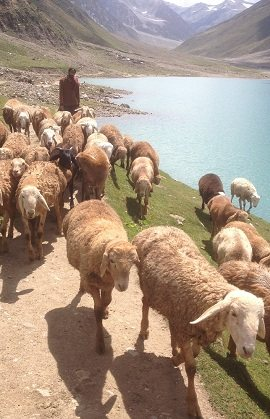 Passing herds near Saif ul Muluk