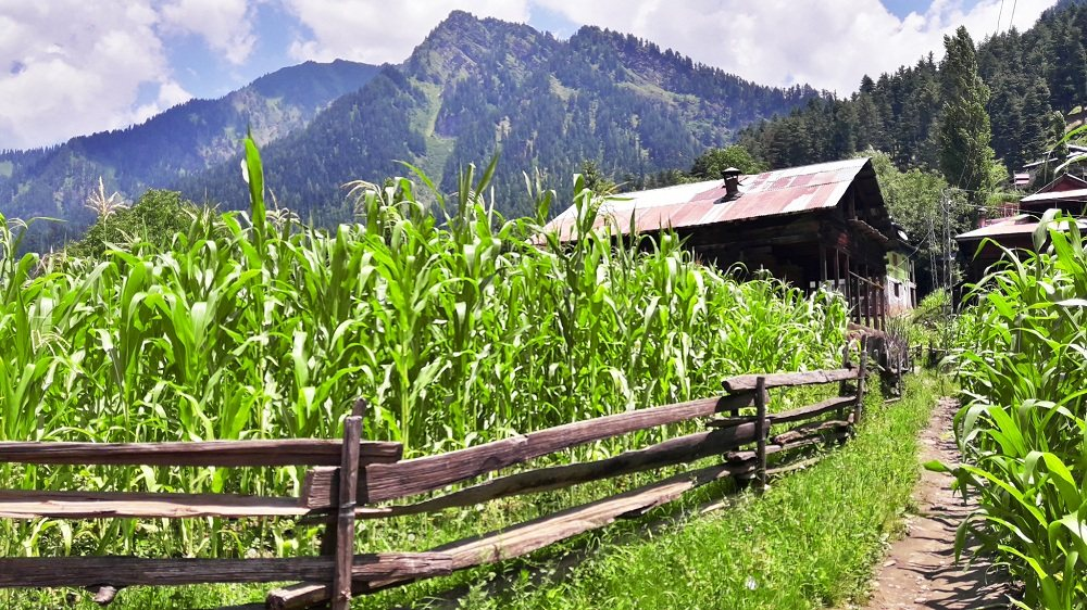 Trek in Fields in Sharda Valley